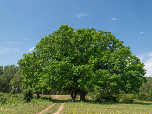 Centuries-old oaks in the village of India